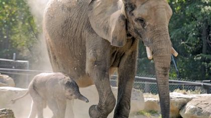 A male elephant, born last Friday, will be on display at the Pittsburgh Zoo & PPG Aquarium Saturday for the Children's Hospital Baby Day.
