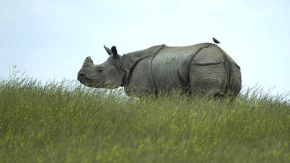 A Rhinoceros stands at the top of the hill.