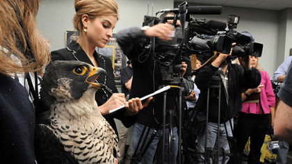 Tasha 2 watches alongside reporters and camera crews the banding of her two peregrine falcon chicks yesterday at the Gulf Tower.