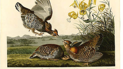 Pinnated grouse by John James Audubon.