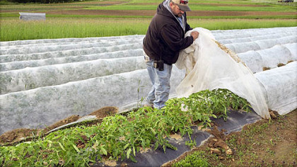 Mike Janoski of Janoski's Farm and Greenhouse in Findlay, lifts the covering that protects the farm's tomato plants from the unseasonable cold, wind and rain.
