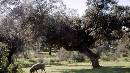 Iberico pigs enjoy a free-range diet of acorns under holm oak trees near the town of Badajoz in the Spainish region called Extremadura.