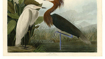 Purple heron by Audubon.