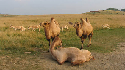 Camels and friends relax near the road.