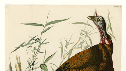 Wild turkey by Audubon.