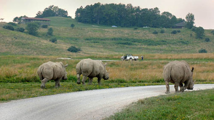 Rhinos wander down the road.