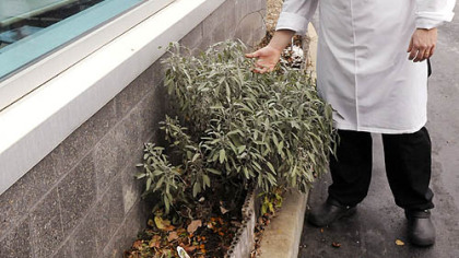 Chef Corey Hayes checks the sage in his small herb garden outside the Steelers training facility on the South Side.