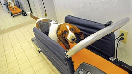 Clementine, a 6-year old bassett hound, watches her reflection as she does her 30-minute run on her dog treadmill.